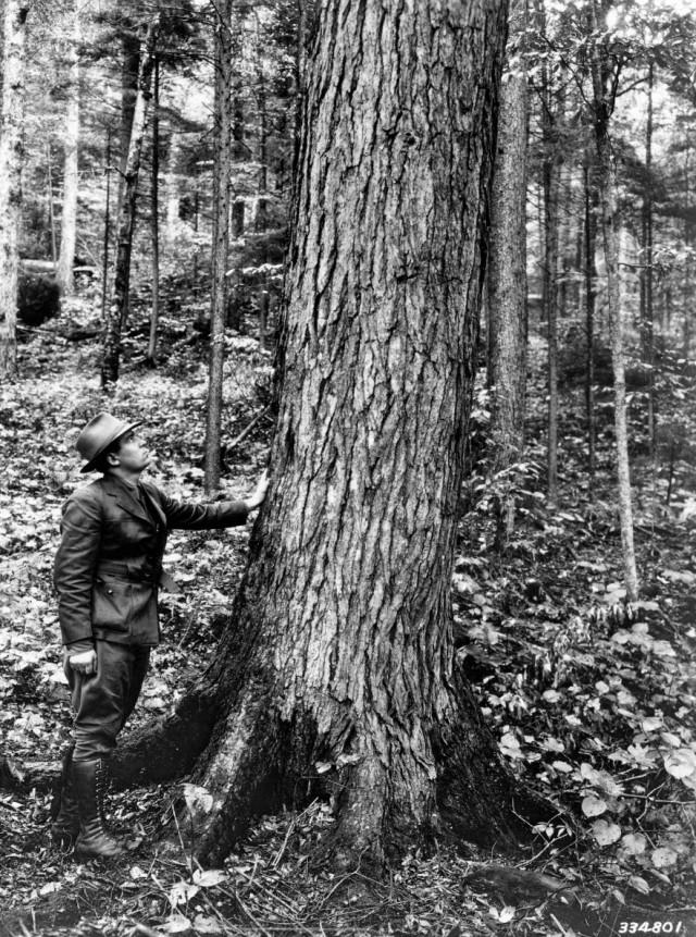 hemlock-tree-usda-tsca_013_pvp