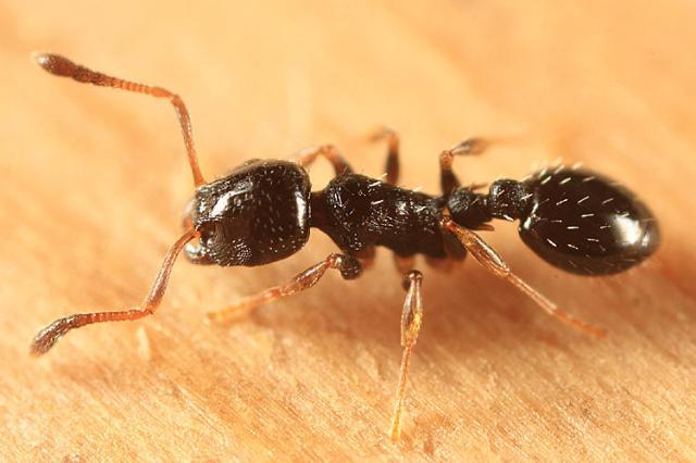 Temnothorax_longispinosus,_Groton,_Massachusetts_(Tom_Murray)